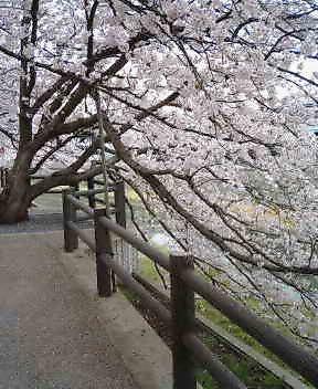 桜の零れる。