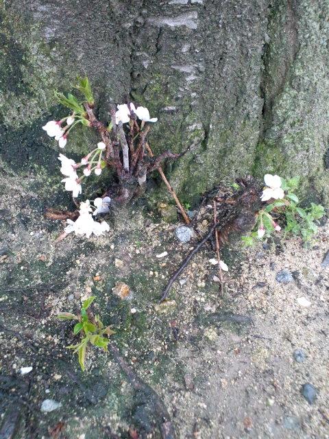 2012年の桜(<br />  その1)