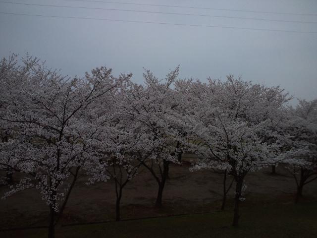2012年の桜その3